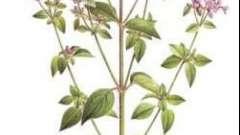 Трава душица - польза и вред. Рецепты народной медицины