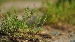 Трава спорыш: полезные свойства и противопоказания