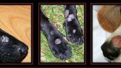 Трихофития у собак: причины, симптомы, лечение, препараты. Стригущий лишай