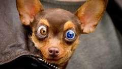 У собаки слезятся глаза. Уход за глазами собаки