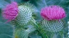 Удивительное растение расторопша: показания к применению