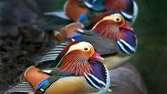 Удивительные и яркие утки-мандаринки
