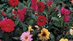 """Удивительный мир цветов – георгины """"веселые ребята"""""""