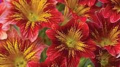 Уникальный цветок сальпиглоссис: выращивание из семян