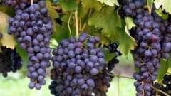 Узнаем, когда сажать виноград