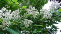 Великолепная и обыкновенная катальпа – дерево для садового дизайна