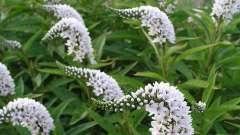 Вербейник ландышевый: описание, уход, выращивание, полив и отзывы