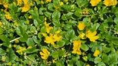 Вербейник монетчатый - выращивание и размножение