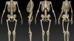Виды костей. Анатомия человека: кости