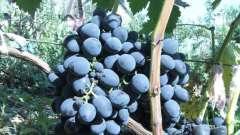 Виноград «гала»: описание, отзывы, фото