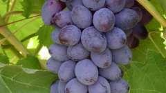 Виноград юпитер: характеристика, посадка, уход