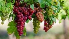 Виноград: калорийность на 100 грамм. Польза и вред винограда