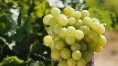 "Виноград ""кишмиш 342"" - его особенности и харктеристика"