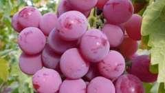 Виноград рута: особенности сорта и выращивание