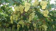Виноград в подмосковье. Выращивание