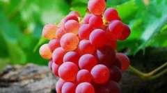 Виноград водограй: изобильный родной край!
