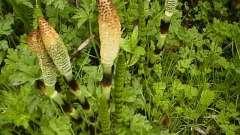 Война с сорняками: как избавиться от хвоща на огороде