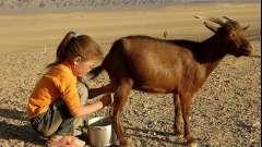 Вред и польза козьего молока для ребенка. Козье молоко: польза и вред, противопоказания