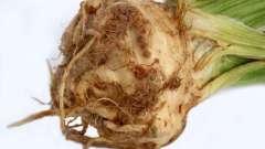 Все полезные свойства корня сельдерея