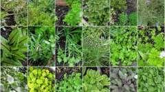 Выращиваем пряные травы на огороде