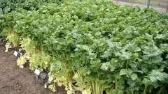 Выращивание черешкового сельдерея на приусадебном участке