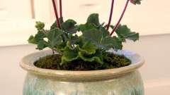 Выращивание и полезные свойства герани комнатной