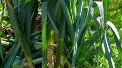 Выращивание лука-порея - выгодное дело