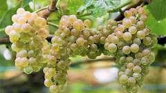 Выращивание винограда в средней полосе: тонкости. Уход за виноградом в средней полосе