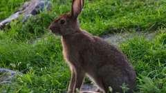 Загадка про зайца для детей: интересные варианты с ответом и не только