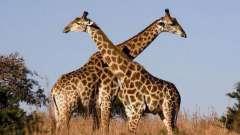 Загадка про жирафа для детей как кладезь фактов