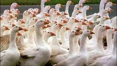Загадки про гусей для деток