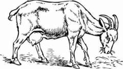 Загадки про козу – интеллектуальное увлечение для детей